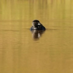 Biziura lobata (Musk Duck) at Bungendore, NSW - 5 May 2020 by ChrisM
