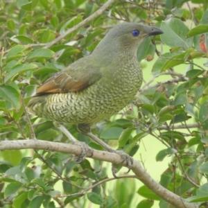 Ptilonorhynchus violaceus at Berry, NSW - 29 Apr 2020