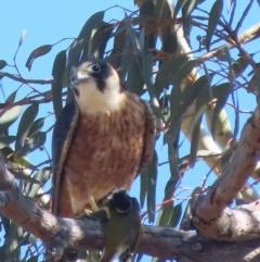 Falco longipennis (Australian Hobby) at Garran, ACT - 5 May 2020 by roymcd