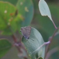 Jalmenus icilius (Amethyst Hairstreak) at Mount Painter - 28 Apr 2020 by Tammy
