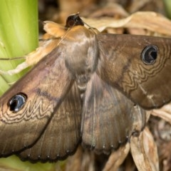 Dasypodia selenophora (Southern old lady moth) at Dunlop, ACT - 22 Jan 2017 by Bron