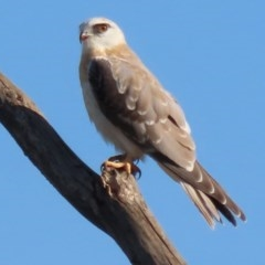 Elanus axillaris (Black-shouldered Kite) at Jerrabomberra Wetlands - 28 Feb 2020 by roymcd