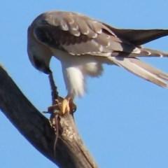 Elanus axillaris at Jerrabomberra Wetlands - 28 Feb 2020
