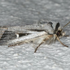Proteuxoa undescribed species near paragypsa at Ainslie, ACT - 2 May 2020