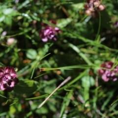 Prunella vulgaris (Self-heal, Heal All) at Namadgi National Park - 5 May 2020 by Jek