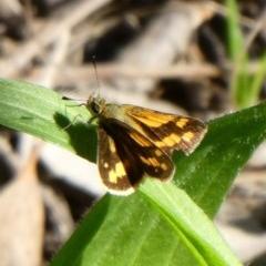 Ocybadistes walkeri (Greenish Grass-dart) at Tuggeranong Hill - 6 May 2020 by Owen