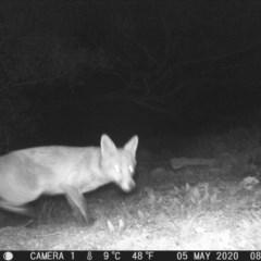 Vulpes vulpes (Red Fox) at Calwell, ACT - 5 May 2020 by ChrisHolder