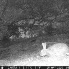 Oryctolagus cuniculus (European Rabbit) at Calwell, ACT - 5 May 2020 by ChrisHolder