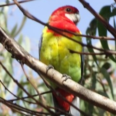 Platycercus eximius (Eastern Rosella) at Sth Tablelands Ecosystem Park - 6 May 2020 by JanetRussell