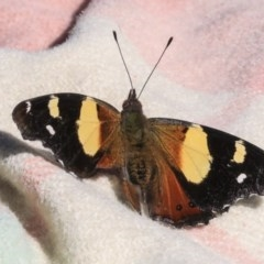 Vanessa itea (Yellow Admiral) at Higgins, ACT - 3 May 2020 by AlisonMilton