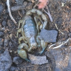 Urodacus manicatus (Black Rock Scorpion) at Gossan Hill - 5 May 2020 by AlisonMilton