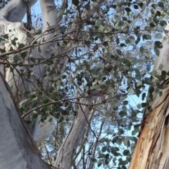 Eucalyptus blakelyi (Blakely's Red Gum) at Majura, ACT - 3 May 2020 by JanetRussell