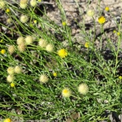 Calotis lappulacea (Yellow burr daisy) at Wanniassa Hill - 6 May 2020 by Mike