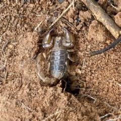Urodacus manicatus (Black Rock Scorpion) at Woodstock Nature Reserve - 2 May 2020 by AndrewCB