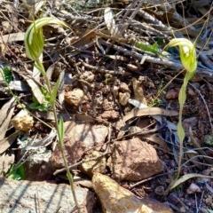Diplodium revolutum (Large autumn greenhood) at Mount Majura - 12 Apr 2020 by AndrewCB
