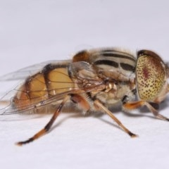 Eristalinus punctulatus (Native Drone Fly) at Evatt, ACT - 30 Oct 2016 by TimL