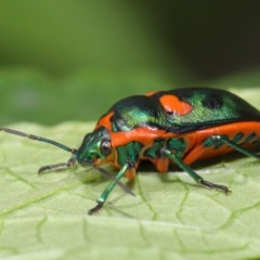 Scutiphora pedicellata (Metallic Jewel Bug) at ANBG - 19 Jan 2020 by TimL