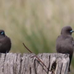 Artamus cyanopterus (Dusky Woodswallow) at Jerrabomberra Wetlands - 6 May 2020 by roymcd