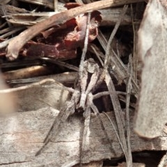 Argoctenus sp. (genus) (Wandering ghost spider) at Mount Painter - 4 May 2020 by CathB