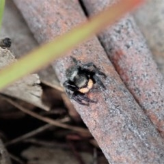 Salticidae sp. 'Golden palps' (Unidentified jumping spider) at Mount Painter - 4 May 2020 by CathB