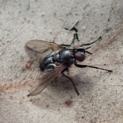 Unidentified Bristle Fly (Tachinidae) (TBC) at Mount Painter - 4 May 2020 by CathB