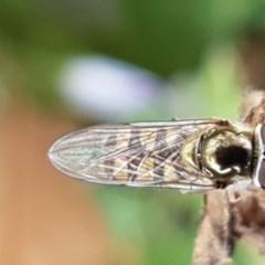 Melangyna sp. (genus) (Hover Fly) at Amaroo, ACT - 7 May 2020 by tpreston