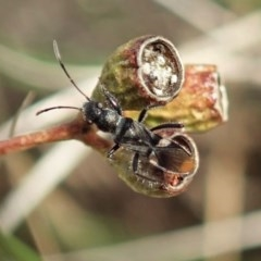 Daerlac nigricans (Ant Mimicking Seedbug) at Mount Painter - 4 May 2020 by CathB