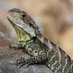 Intellagama lesueurii howittii (Gippsland Water Dragon) at Uriarra Village, ACT - 2 Mar 2020 by roymcd