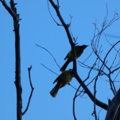 Nesoptilotis leucotis (White-eared Honeyeater) at Red Hill Nature Reserve - 6 May 2020 by Ct1000