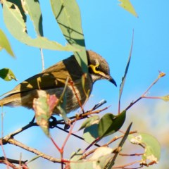 Caligavis chrysops (Yellow-faced Honeyeater) at Red Hill Nature Reserve - 6 May 2020 by Ct1000