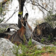 Macropus rufogriseus (Red-necked Wallaby) at Mcquoids Hill - 6 May 2020 by HelenCross