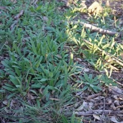 Plantago varia at Federal Golf Course - 6 May 2020