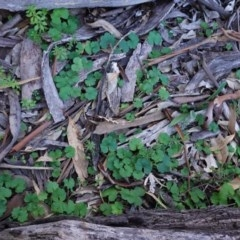 Hydrocotyle laxiflora (Stinking Pennywort) at Federal Golf Course - 6 May 2020 by JackyF