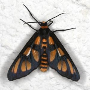 Amata (genus) at Ainslie, ACT - 23 Nov 2019