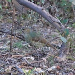Ptilonorhynchus violaceus (Satin Bowerbird) at Federal Golf Course - 6 May 2020 by JackyF