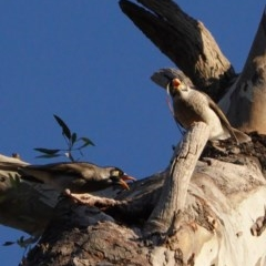 Manorina melanocephala (Noisy Miner) at Red Hill Nature Reserve - 6 May 2020 by JackyF