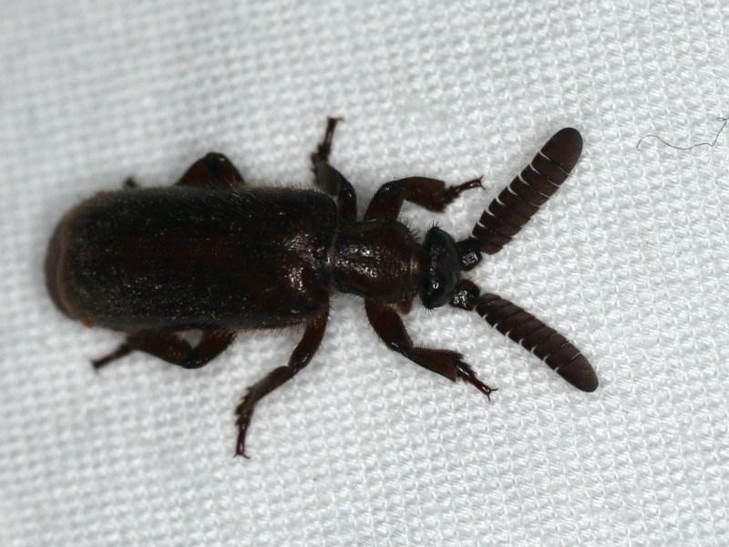 Arthropterus sp. (genus) at Ainslie, ACT - 24 Nov 2019