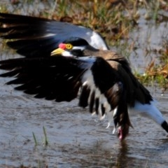 Vanellus tricolor (Banded Lapwing) at Hoskinstown, NSW - 6 Aug 2015 by Harrisi