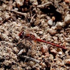 Diplacodes bipunctata (Wandering Percher) at Brogo, NSW - 8 May 2020 by MaxCampbell