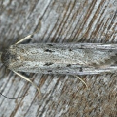 Oecophorinae (subfamily) (Unidentified Oecophorinae concealer moth) at Ainslie, ACT - 24 Nov