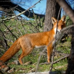 Vulpes vulpes (Red Fox) at Red Hill Nature Reserve - 8 May 2020 by Ct1000