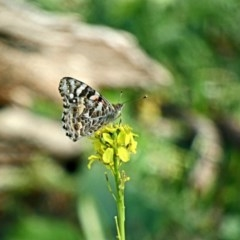 Vanessa kershawi (Australian Painted Lady) at Red Hill Nature Reserve - 8 May 2020 by Ct1000