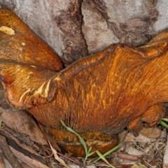 Gymnopilus junonius (Spectacular Rustgill) at Gungaderra Grasslands - 8 May 2020 by DerekC