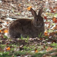 Oryctolagus cuniculus (European Rabbit) at Lake Burley Griffin Central/East - 8 May 2020 by RodDeb