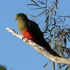 Alisterus scapularis (Australian King-Parrot) at Macarthur, ACT - 8 May 2020 by RodDeb