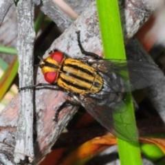 Sarcophagidae sp. (family) (Unidentified flesh fly) at Nerriga, NSW - 17 Nov 2013 by Harrisi