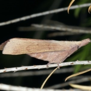 Pararguda nasuta at Ainslie, ACT - 24 Nov 2019