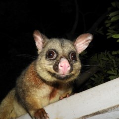 Trichosurus vulpecula (Common Brushtail Possum) at Kambah, ACT - 8 May 2020 by MatthewFrawley