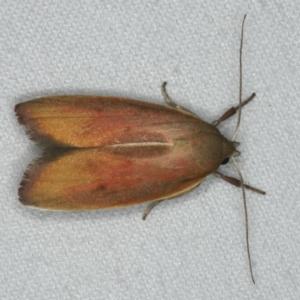 Ptyoptila matutinella at Ainslie, ACT - 24 Nov 2019