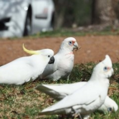 Cacatua tenuirostris (Long-billed Corella) at Belconnen, ACT - 9 May 2020 by wombey